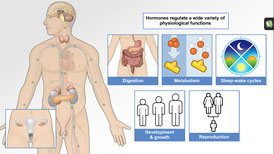 Understanding the Anatomy of the Endocrine System